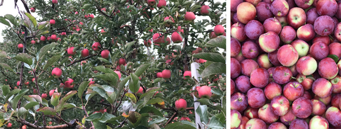 ontario-apples